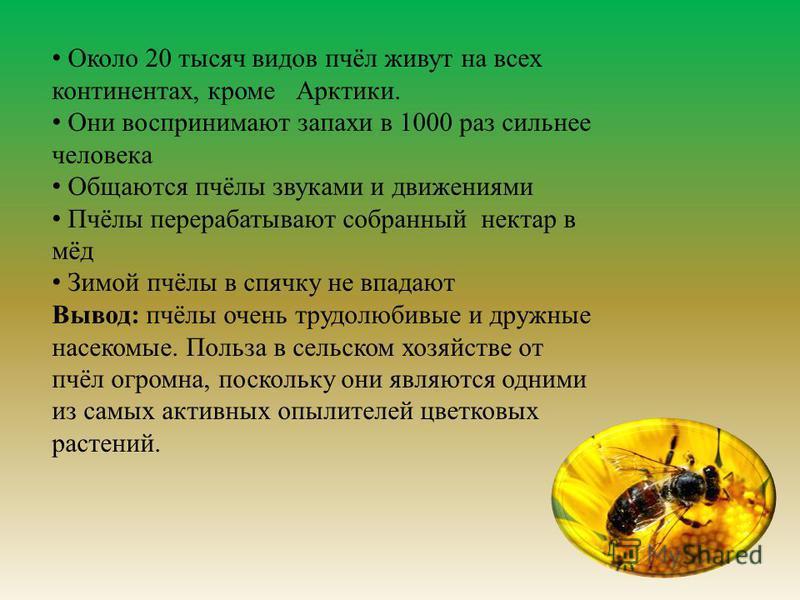 Около 20 тысяч видов пчёл живут на всех континентах, кроме Арктики. Они воспринимают запахи в 1000 раз сильнее человека Общаются пчёлы звуками и движениями Пчёлы перерабатывают собранный нектар в мёд Зимой пчёлы в спячку не впадают Вывод : пчёлы очен