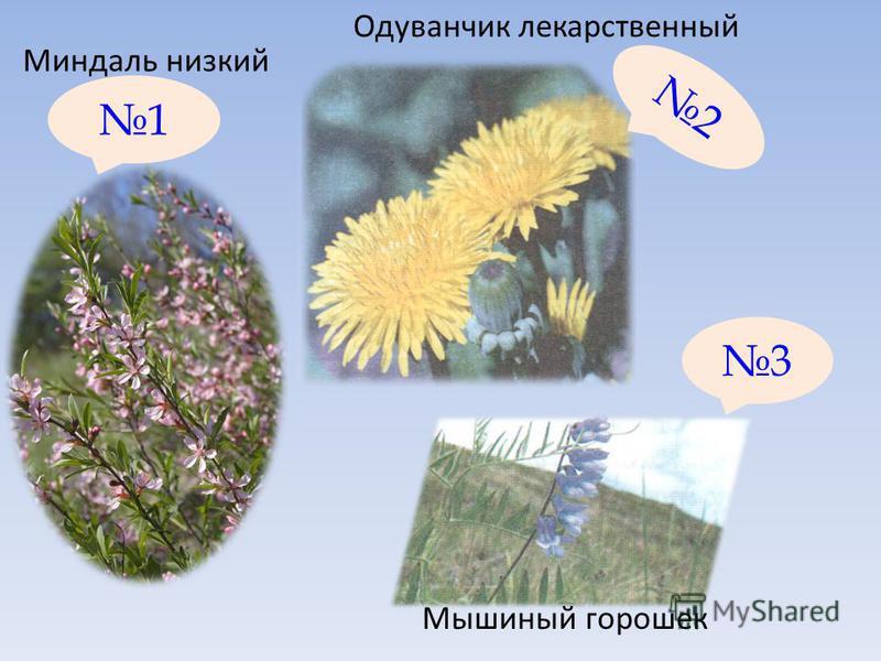 1 3 2 Миндаль низкий Одуванчик лекарственный Мышиный горошек