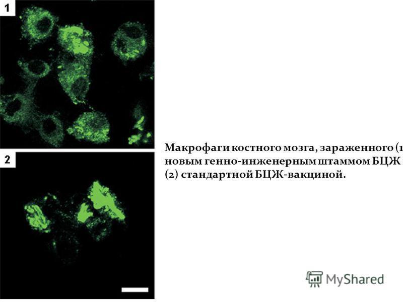 Макрофаги костного мозга, зараженного (1) новым генно-инженерным штаммом БЦЖ и (2) стандартной БЦЖ-вакциной.