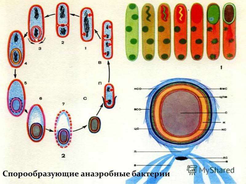 Спорообразующие анаэробные бактерии