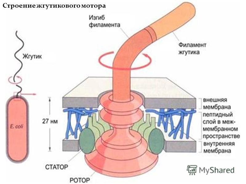 Строение жгутикового мотора