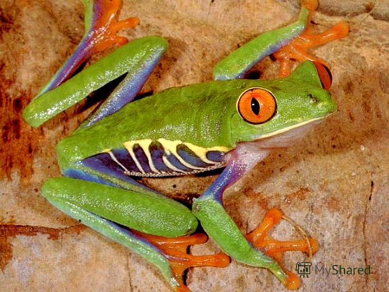 Самая ядовитая среди животных и самая маленькая среди южноамериканских лягушек – кокои : её ядом можно умертвить 50 тапиров. В одной лягушке яда столько, сколько хватит для умерщвления 1500 человек. Хотя она весит чуть больше грамма.