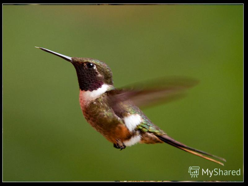 Самая маленькая среди птиц – колибри-шмель: она лишь немного крупнее обычного шмеля и весит чуть больше 1,5 г, а яйцо у нее с горошину.