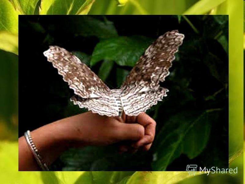 Самая крупная в мире бабочка-агриппина: размах ее крыльев достигает 27 см. Oна летает только ночью.