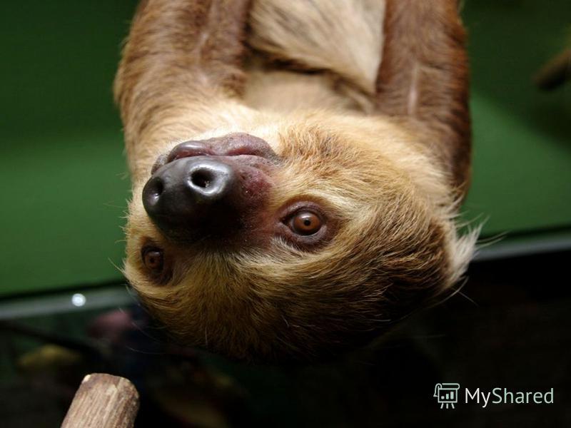 Самое медлительное в мире животное – ленивец. С одной ветки на другую, соседнюю он может перебираться больше получаса.