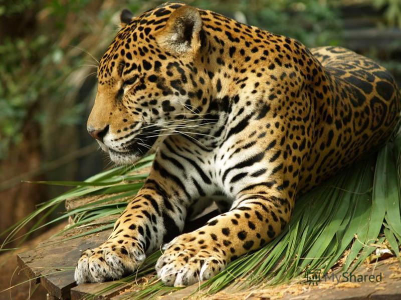 Самый крупный хищник из семейства кошачьих в Южной Америке – ягуар. Он весит до 135 кг.