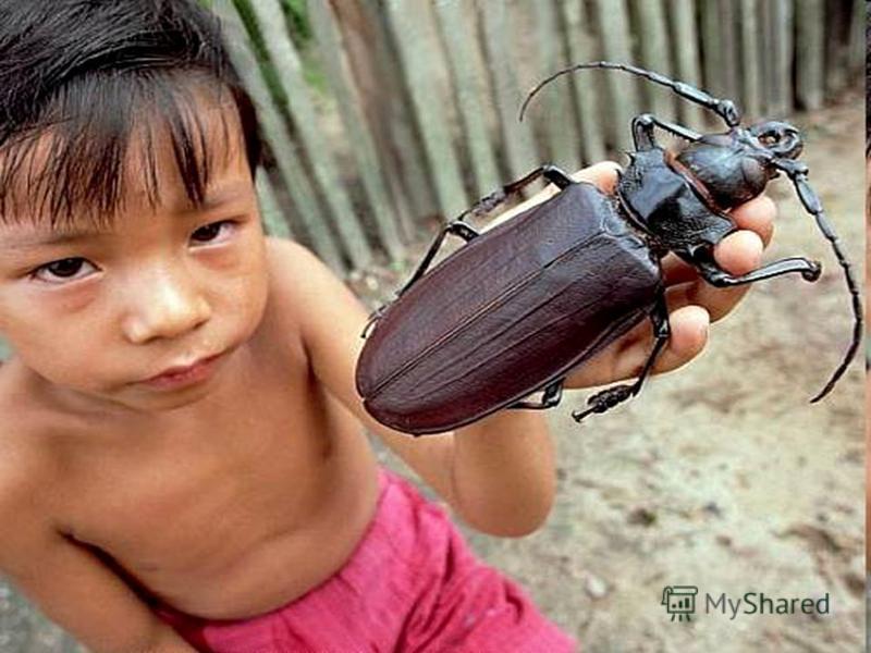 Один из самых больших на Земле жуков редкое насекомое из Южной Америки дровосек-титан (Titanus giganteus). Длина его тела указывается в разных источниках в диапазоне от 16 до 21 см!