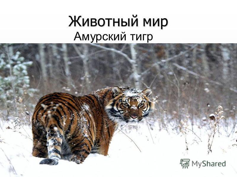 Животный мир Амурский тигр