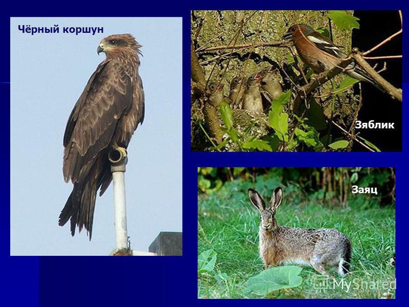 Зяблик Чёрный коршун Заяц
