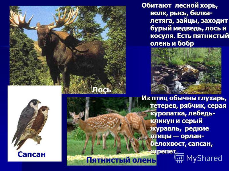 Обитают лесной хорь, волк, рысь, белка- летяга, зайцы, заходит бурый медведь, лось и косуля. Есть пятнистый олень и бобр Из птиц обычны глухарь, тетерев, рябчик, серая куропатка, лебедь- кликун и серый журавль, редкие птицы орлан- белохвост, сапсан,
