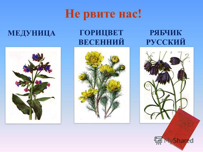 Кувшинка белая, нимфея, северный лотос. Одно из самых красивых растений нашей области. Славяне называли кувшинку одолень - травой, зашивали в ладанку и носили на груди. Растение находится под охраной. Кувшинка белая