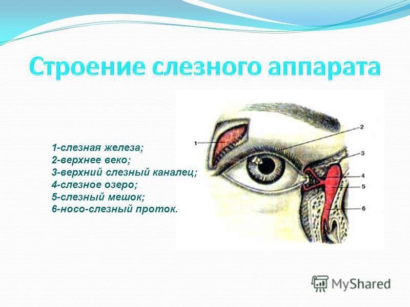 1-слезная железа; 2-верхнее веко; 3-верхний слезный каналец; 4-слезное озеро; 5-слезный мешок; 6-носо-слезный проток.