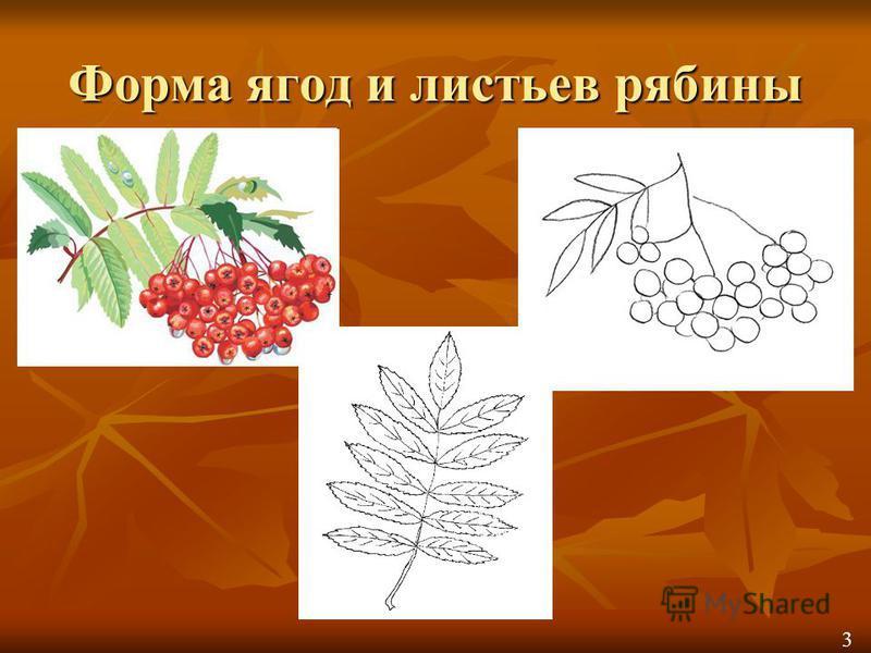 Форма ягод и листьев рябины 3