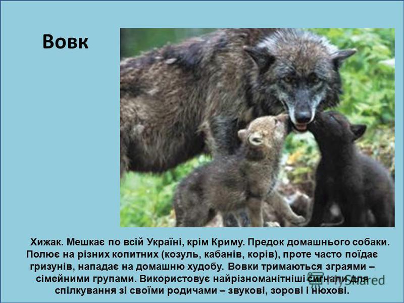 ю Вовк Хижак. Мешкає по всій Україні, крім Криму. Предок домашнього собаки. Полює на різних копитних (козуль, кабанів, корів), проте часто поїдає гризунів, нападає на домашню худобу. Вовки тримаються зграями – сімейними групами. Використовує найрізно