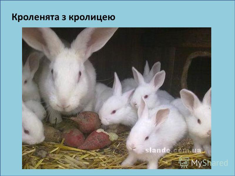 Кроленята з кролицею