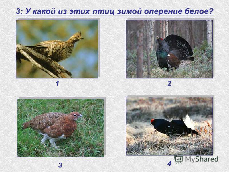 3: У какой из этих птиц зимой оперение белое? 1 3 2 4