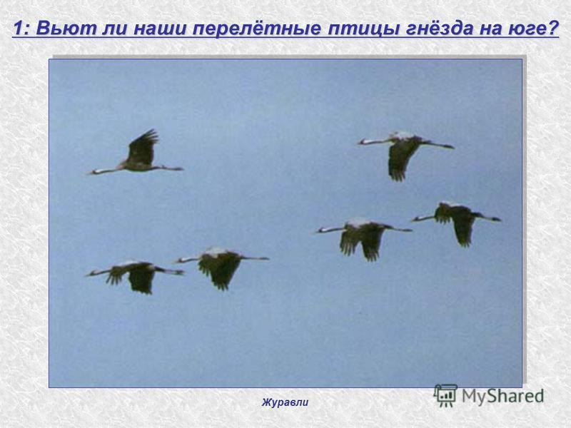 Журавли 1: Вьют ли наши перелётные птицы гнёзда на юге?