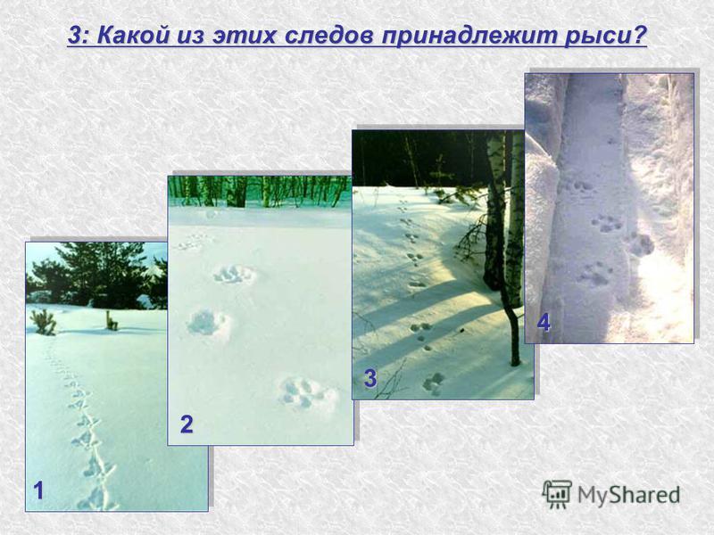 3: Какой из этих следов принадлежит рыси? 1 4 3 2