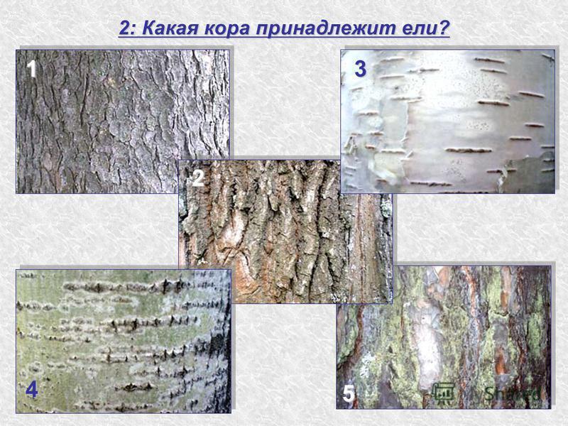 2: Какая кора принадлежит ели? 1 2 3 4 5
