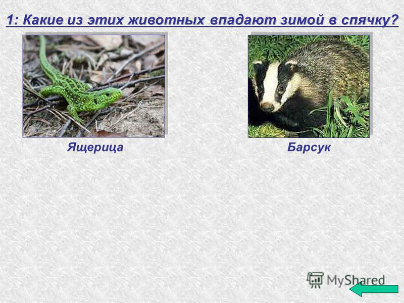 1: Какие из этих животных впадают зимой в спячку? Барсук Ящерица