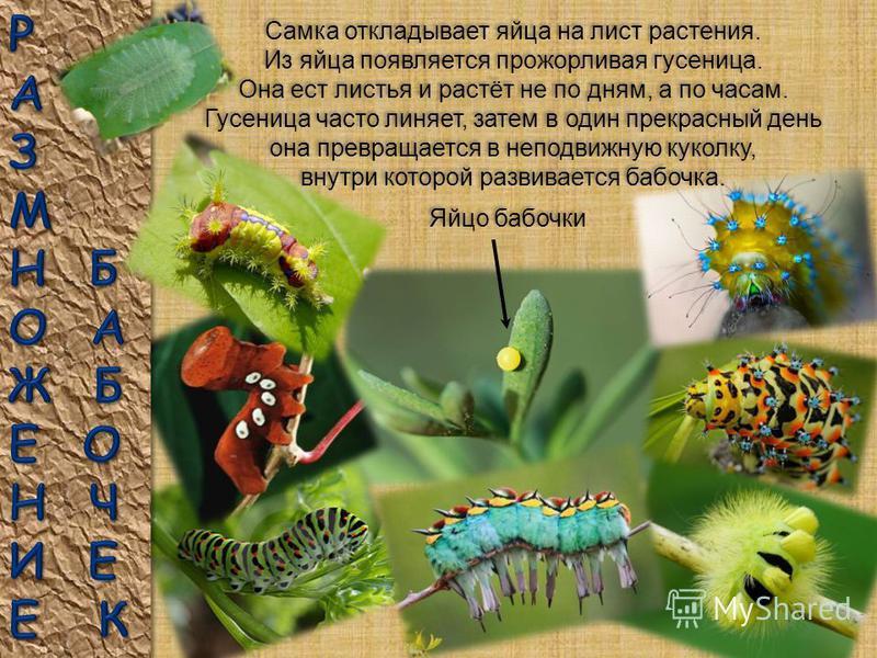 Окраска и причудливые узоры на крыльях бабочек имеют большое значение для их выживания. Один из самых надежных способов отпугнуть хищника – быть похожим на какое-нибудь опасное ядовитое или отвратительное на вкус животное. Ученые называют такую маски
