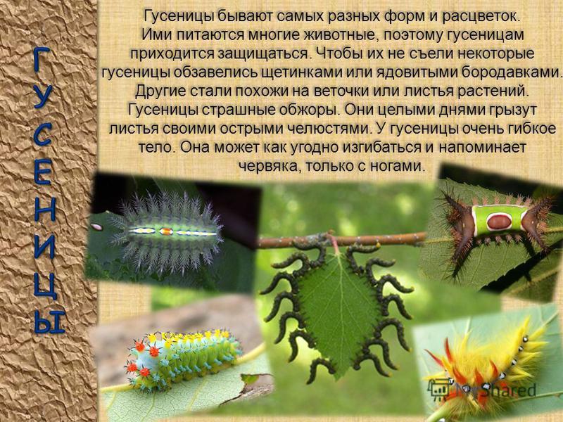 Яйцо бабочки Самка откладывает яйца на лист растения. Из яйца появляется прожорливая гусеница. Она ест листья и растёт не по дням, а по часам. Гусеница часто линяет, затем в один прекрасный день она превращается в неподвижную куколку, внутри которой