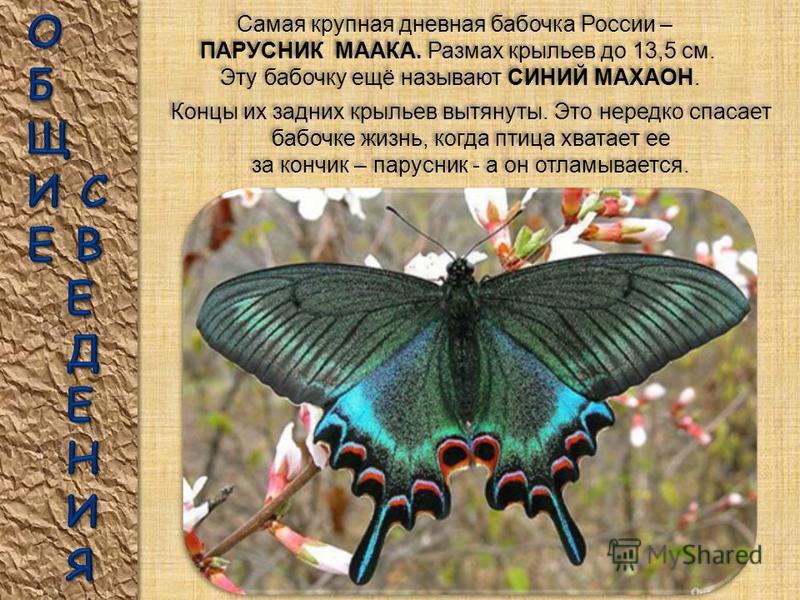 САТУРНИЯ – ПАВЛИНОГЛАЗКА ГЕРКУЛЕС – одна из самых больших ночных бабочек в мире. Водится на юге Бразилии. У нее нет хоботка, она не питается и живет поэтому всего несколько дней. САТУРНИЯ – ПАВЛИНОГЛАЗКА ГЕРКУЛЕС – одна из самых больших ночных бабоче