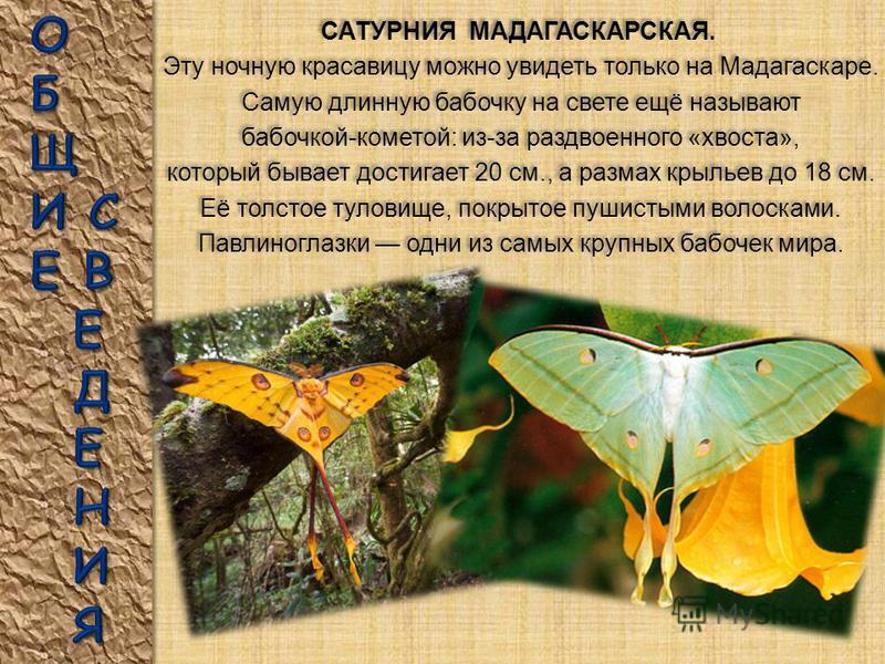 Самая крупная дневная бабочка России – ПАРУСНИК МААКА. Размах крыльев до 13,5 см. Эту бабочку ещё называют СИНИЙ МАХАОН. Самая крупная дневная бабочка России – ПАРУСНИК МААКА. Размах крыльев до 13,5 см. Эту бабочку ещё называют СИНИЙ МАХАОН. Концы их