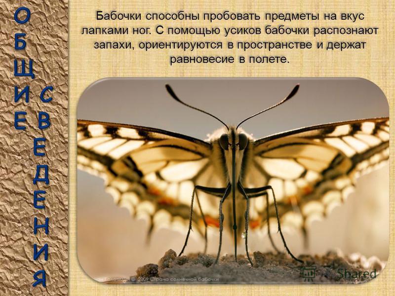 САТУРНИЯ МАДАГАСКАРСКАЯ. Эту ночную красавицу можно увидеть только на Мадагаскаре. Самую длинную бабочку на свете ещё называют бабочкой-кометой: из-за раздвоенного «хвоста», который бывает достигает 20 см., а размах крыльев до 18 см. Её толстое тулов