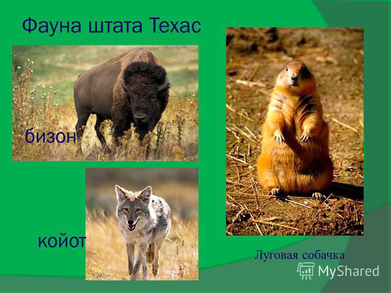 Фауна штата Техас бизон койот Луговая собачка
