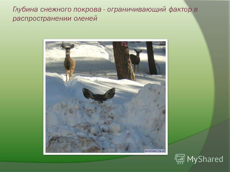 Глубина снежного покрова - ограничивающий фактор в распространении оленей