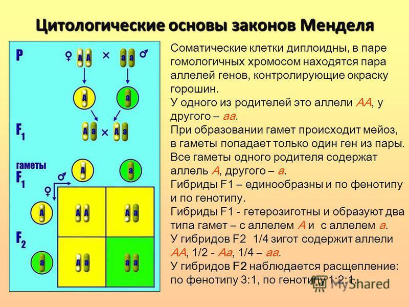 Цитологические основы законов Менделя Соматические клетки диплоидны, в паре гомологичных хромосом находятся пара аллелей генов, контролирующие окраску горошин. У одного из родителей это аллели АА, у другого – а. При образовании гамет происходит мейоз