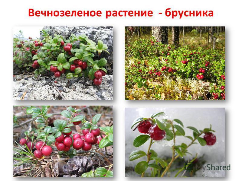 Вечнозеленое растение - брусника