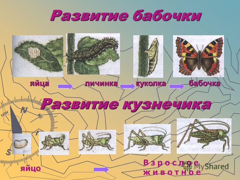 Развитие бабочки Развитие бабочки яйца личинка куколка бабочка Развитие кузнечика яйцо В з р о с л о е ж и в о т н о е