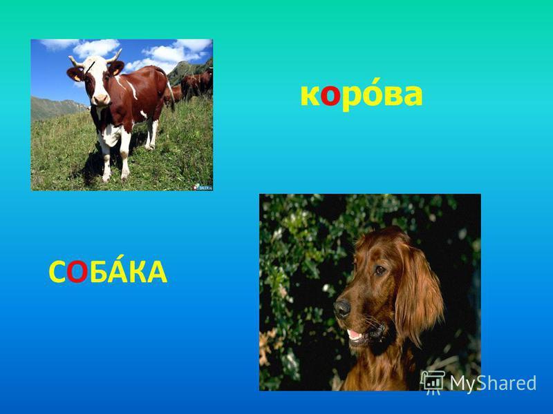 СОБАКА корова