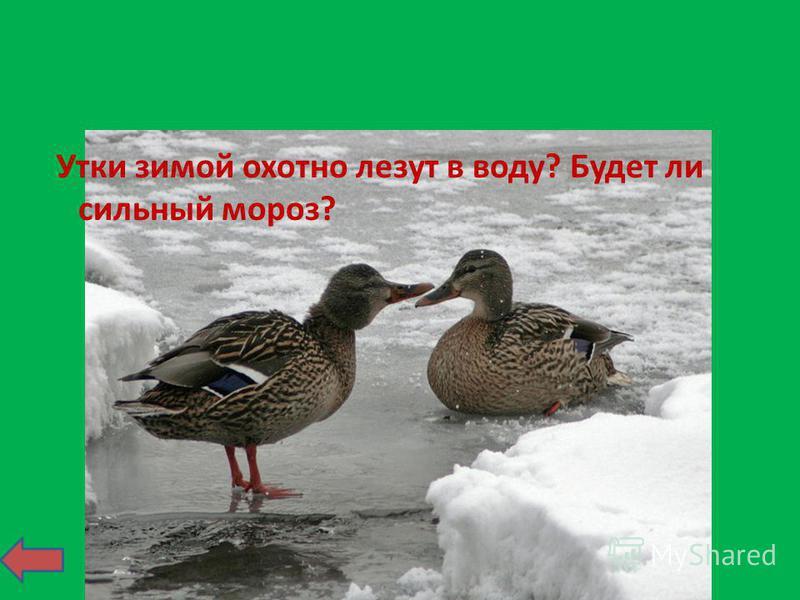 Утки зимой охотно лезут в воду? Будет ли сильный мороз?