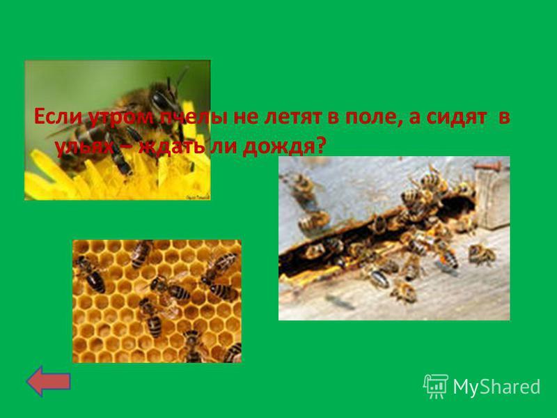 Если утром пчелы не летят в поле, а сидят в ульях – ждать ли дождя?