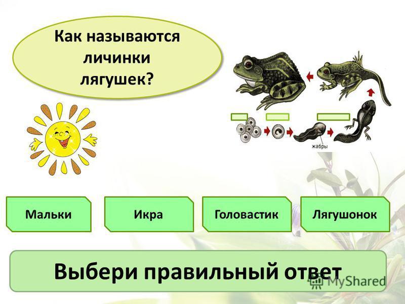 Мальки Как называются личинки лягушек? Икра ГоловастикЛягушонок Выбери правильный ответ