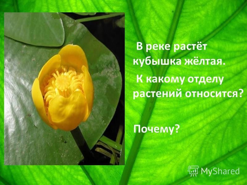 В реке растёт кубышка жёлтая. К какому отделу растений относится? Почему?