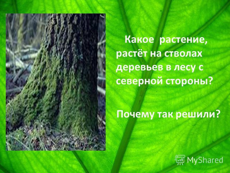 Какое растение, растёт на стволах деревьев в лесу с северной стороны? Почему так решили?