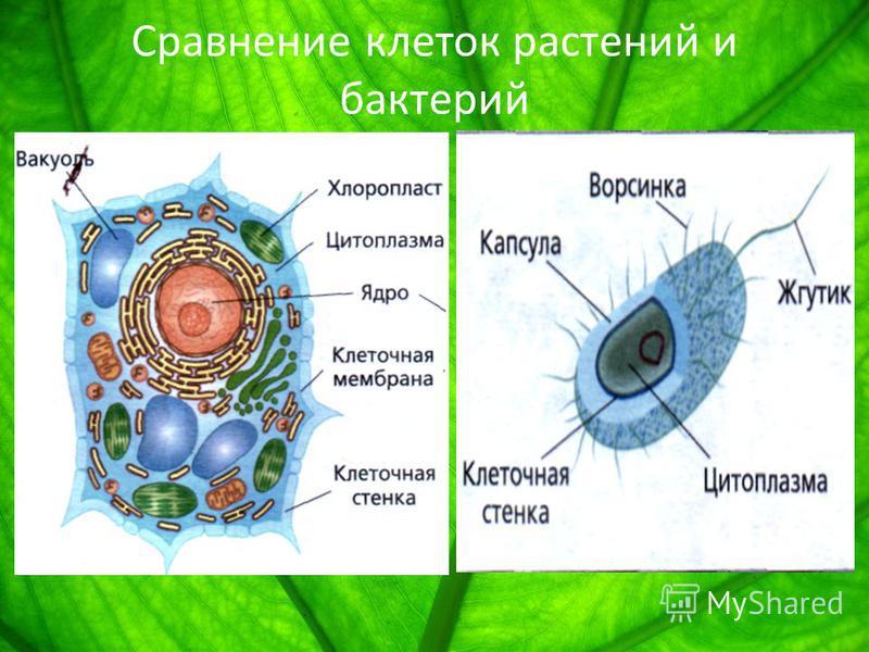 Сравнение клеток растений и бактерий
