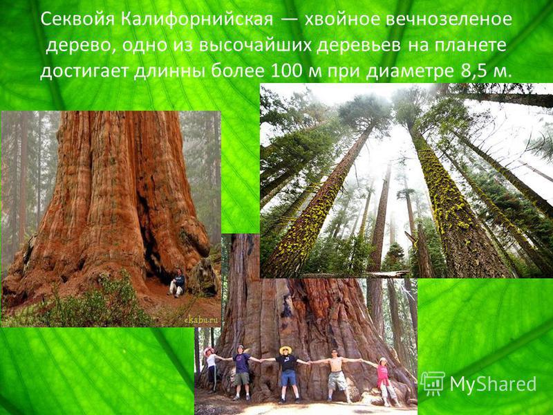Секвойя Калифорнийская хвойное вечнозеленое дерево, одно из высочайших деревьев на планете достигает длинны более 100 м при диаметре 8,5 м.