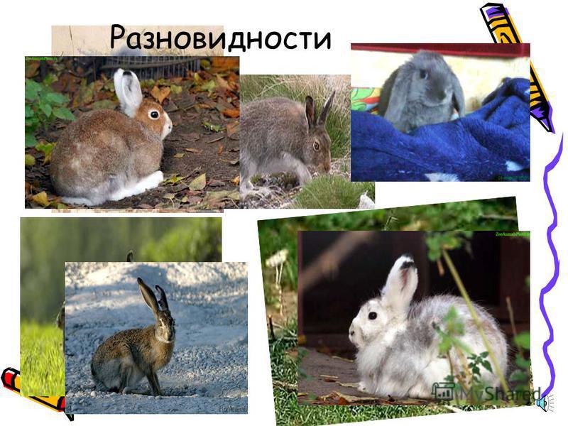 КРОЛИК ЕВРОПЕЙСКИЙ ДИКИЙ Внешний вид. Дикий или бешеный кролик имеет длину тела 3545 см, а уши у него длиной всего 67 см. Распространение. Распространен бешеный кролик в Западной и Средней Европе, в Северной Африке. Образ жизни. Места обитания вислоу