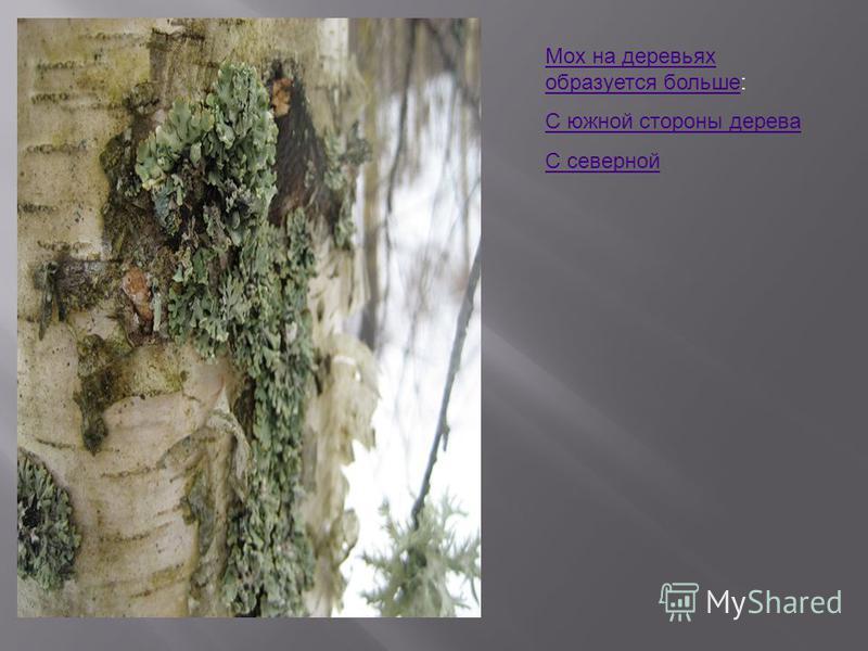 Мох на деревьях образуется больше Мох на деревьях образуется больше: С южной стороны дерева С северной