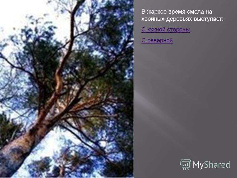 В жаркое время смола на хвойных деревьях выступает: С южной стороны С северной