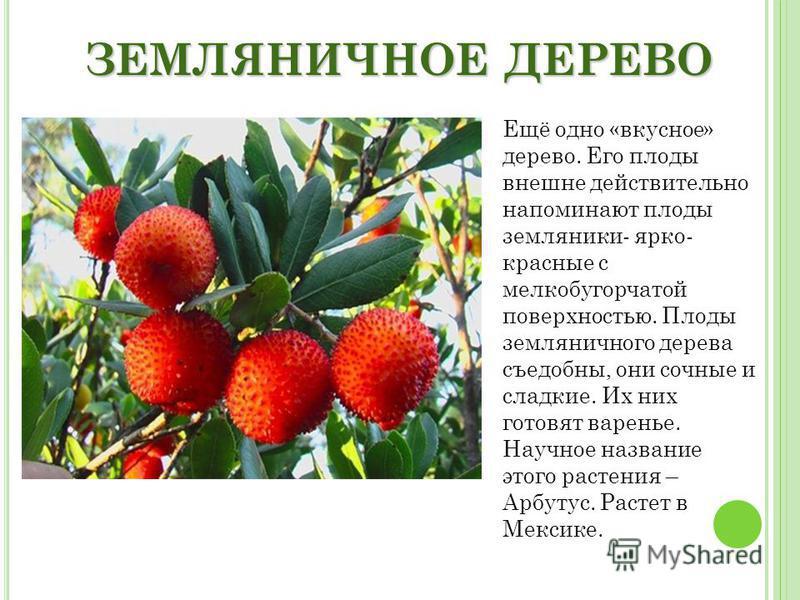 ЗЕМЛЯНИЧНОЕ ДЕРЕВО Ещё одно «вкусное» дерево. Его плоды внешне действительно напоминают плоды земляники- ярко- красные с мелкобугорчатой поверхностью. Плоды земляничного дерева съедобны, они сочные и сладкие. Их них готовят варенье. Научное название