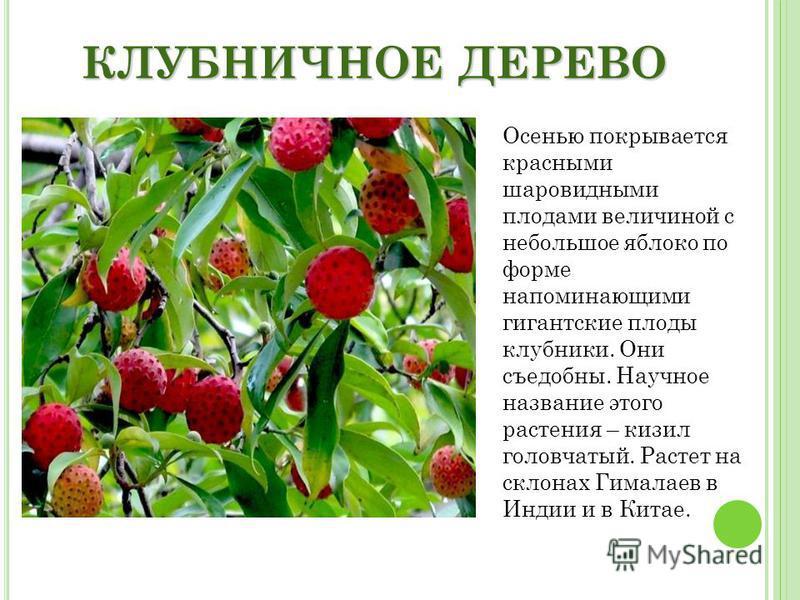 КЛУБНИЧНОЕ ДЕРЕВО Осенью покрывается красными шаровидными плодами величиной с небольшое яблоко по форме напоминающими гигантские плоды клубники. Они съедобны. Научное название этого растения – кизил головчатый. Растет на склонах Гималаев в Индии и в