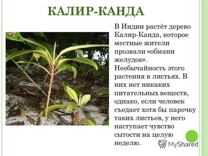 КАЛИР-КАНДА В Индии растёт дерево Калир-Канда, которое местные жители прозвали «обмани желудок». Необычайность этого растения в листьях. В них нет никаких питательных веществ, однако, если человек съедает хотя бы парочку таких листьев, у него наступа