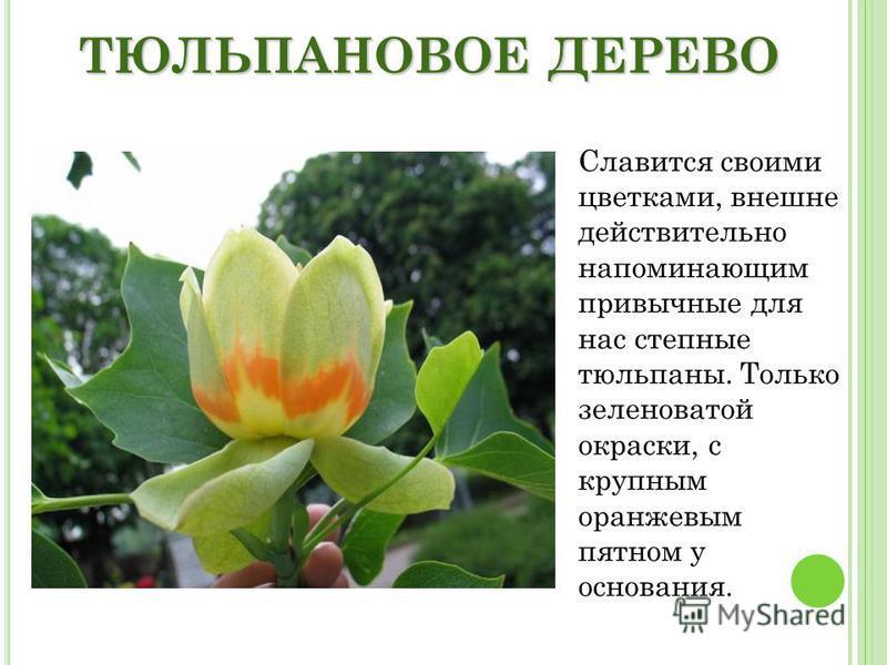 ТЮЛЬПАНОВОЕ ДЕРЕВО Славится своими цветками, внешне действительно напоминающим привычные для нас степные тюльпаны. Только зеленоватой окраски, с крупным оранжевым пятном у основания.