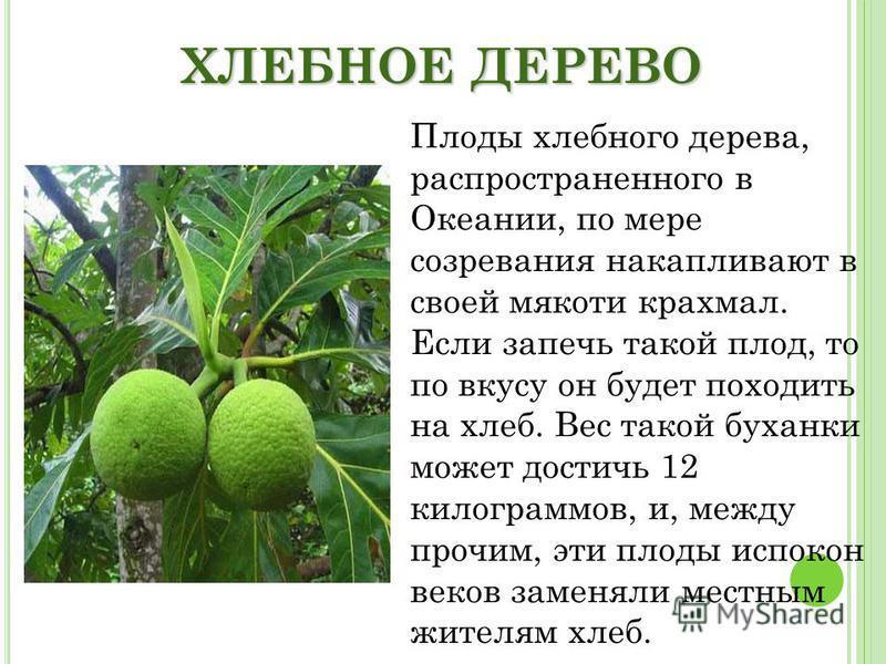 ХЛЕБНОЕ ДЕРЕВО Плоды хлебного дерева, распространенного в Океании, по мере созревания накапливают в своей мякоти крахмал. Если запечь такой плод, то по вкусу он будет походить на хлеб. Вес такой буханки может достичь 12 килограммов, и, между прочим,